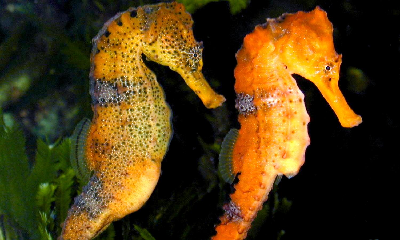 Slender Seahorse Wikipedia