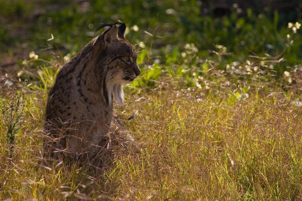 By http://www.lynxexsitu.es - http://www.lynxexsitu.es/index.php?accion=fotos&id=16#lince, CC BY 3.0 es, https://commons.wikimedia.org/w/index.php?curid=27381737