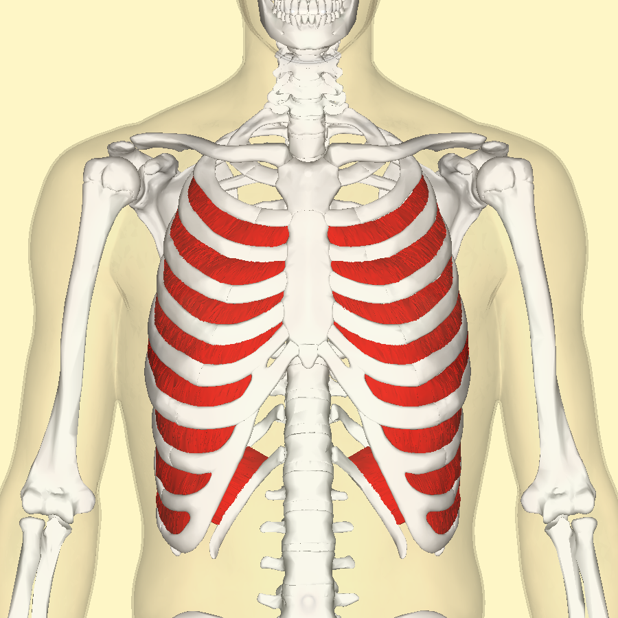File:Internal intercostal muscles frontal.png - Wikimedia Commons