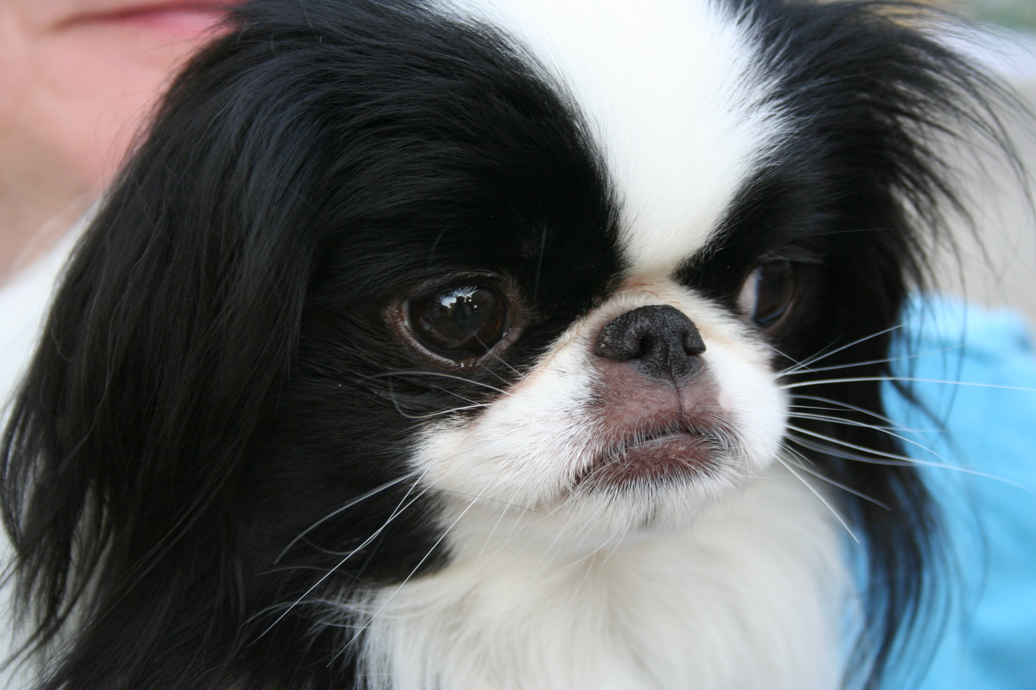 Description Japanese Chin portrait.jpg