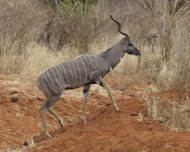 The average litter size of a Lesser kudu is 1
