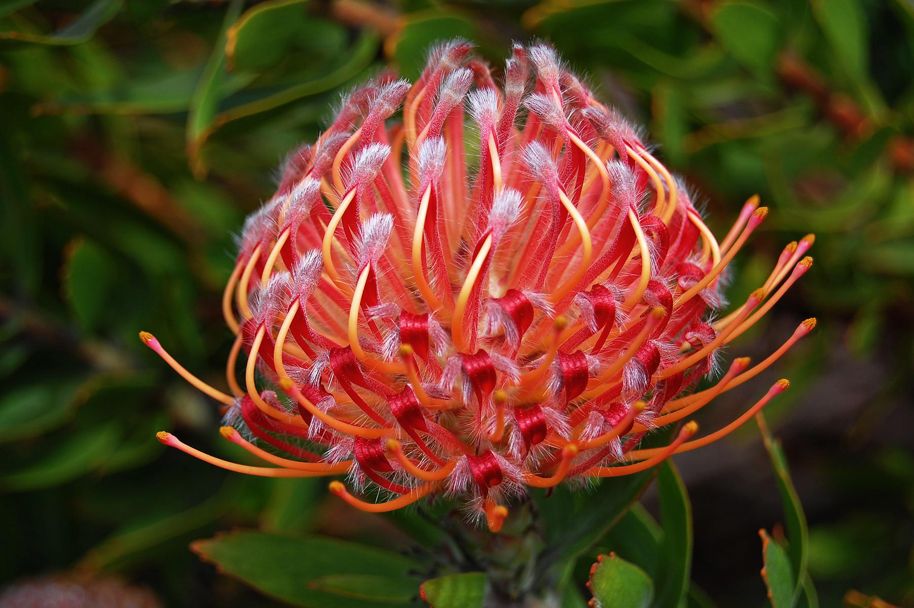 Leucospermum 'Scarlet Ribbon'A cross performed in Tasmania between L. glabrum and L. tottum
