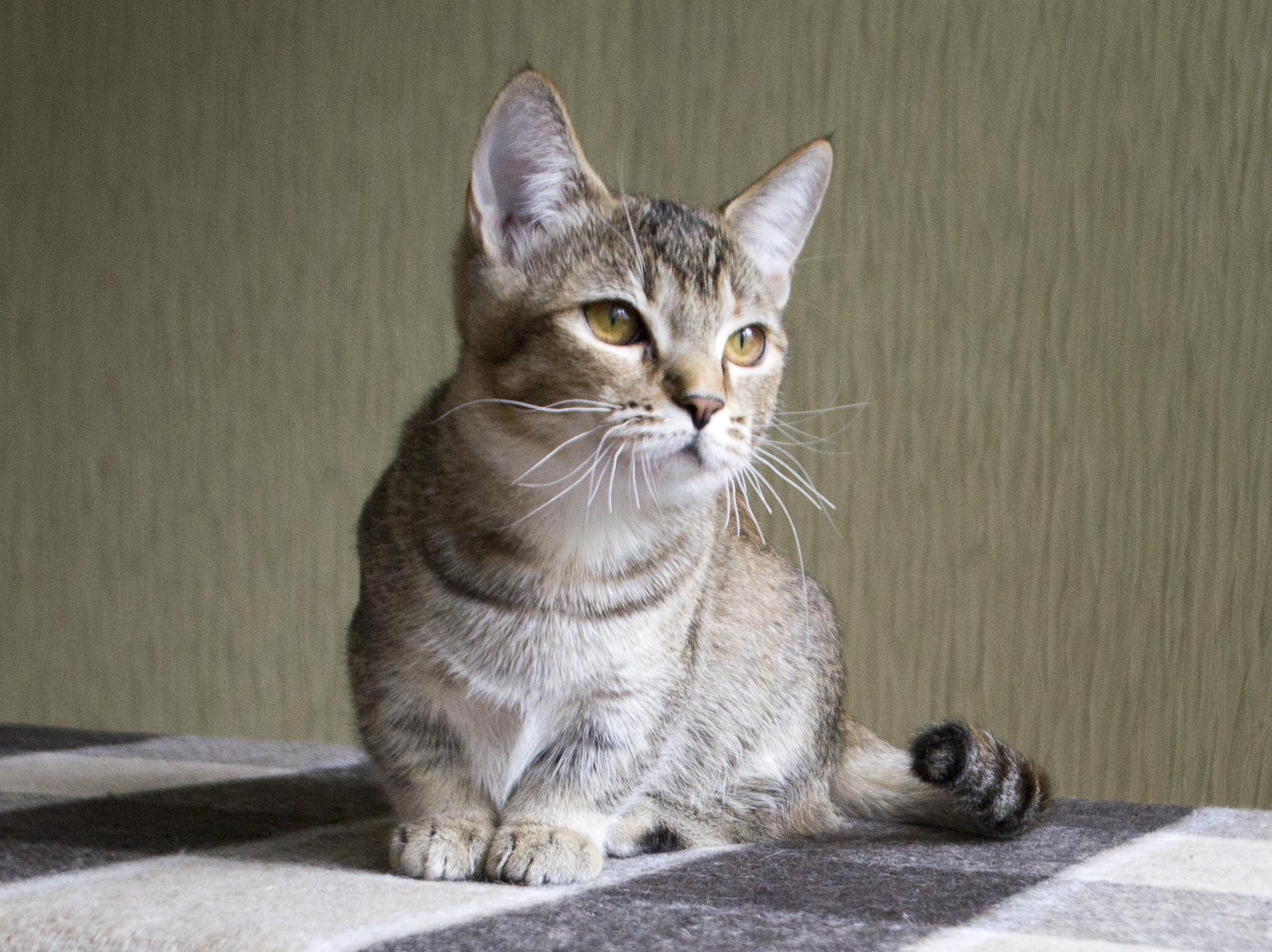 манчкин порода кошек википедия