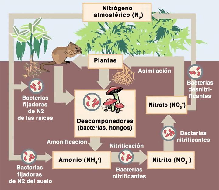Nitrificaci n wikipedia la enciclopedia libre for Como se forma y desarrolla el suelo