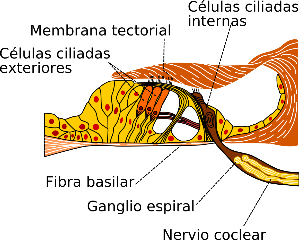 Órgano de Corti - Wikipedia, la enciclopedia libre