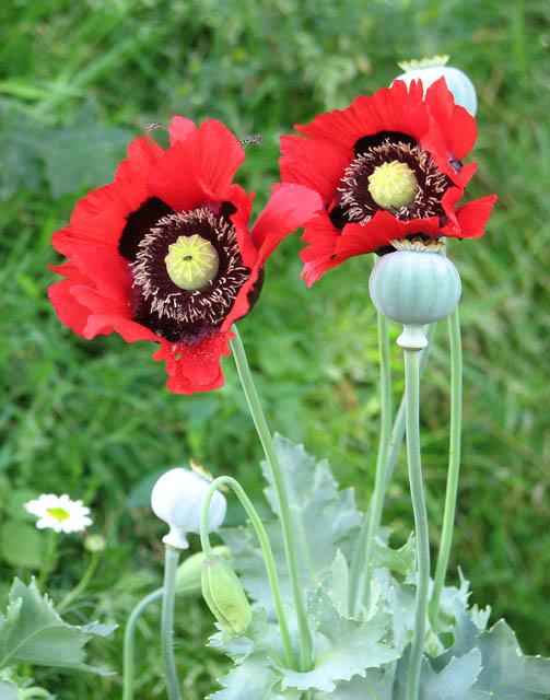 how to get a poppy plant