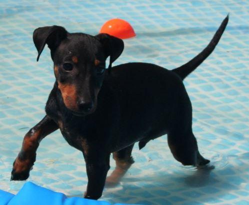 Los Manchester Terrier necesitan realizar actividad física todos los días para evitar que sufran de sobrepeso
