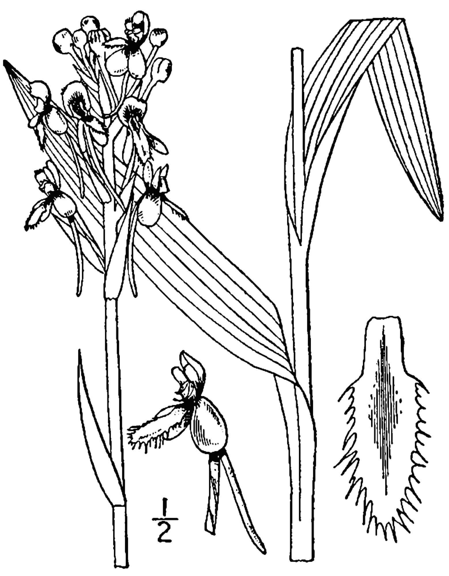 Drawing of B. blephariglottis from 1913