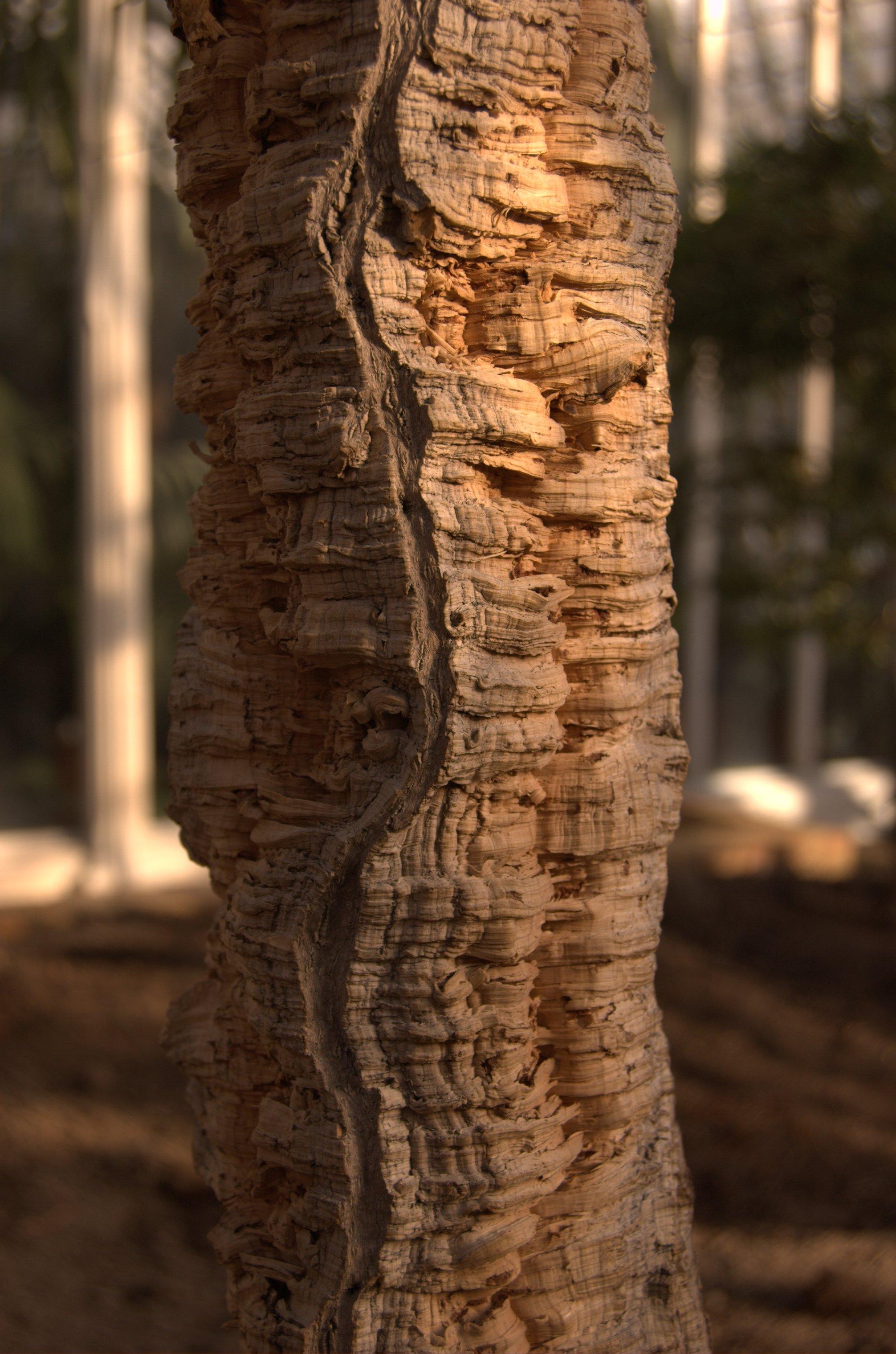 http://upload.wikimedia.org/wikipedia/commons/b/b8/Quercus_suber_aka_cork_oak.jpg