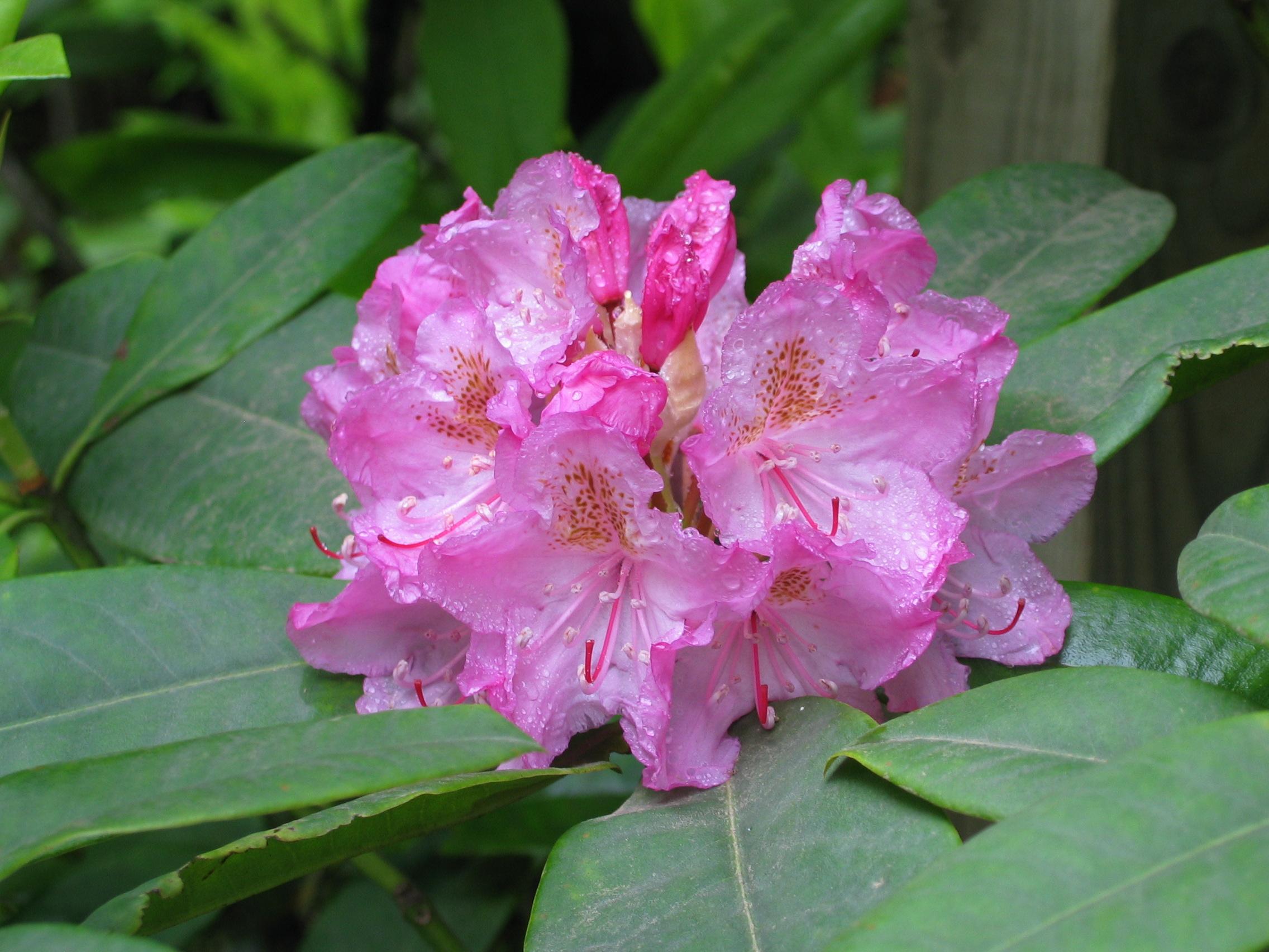 File Rhododendron Macrophyllum Jpg Wikimedia Commons