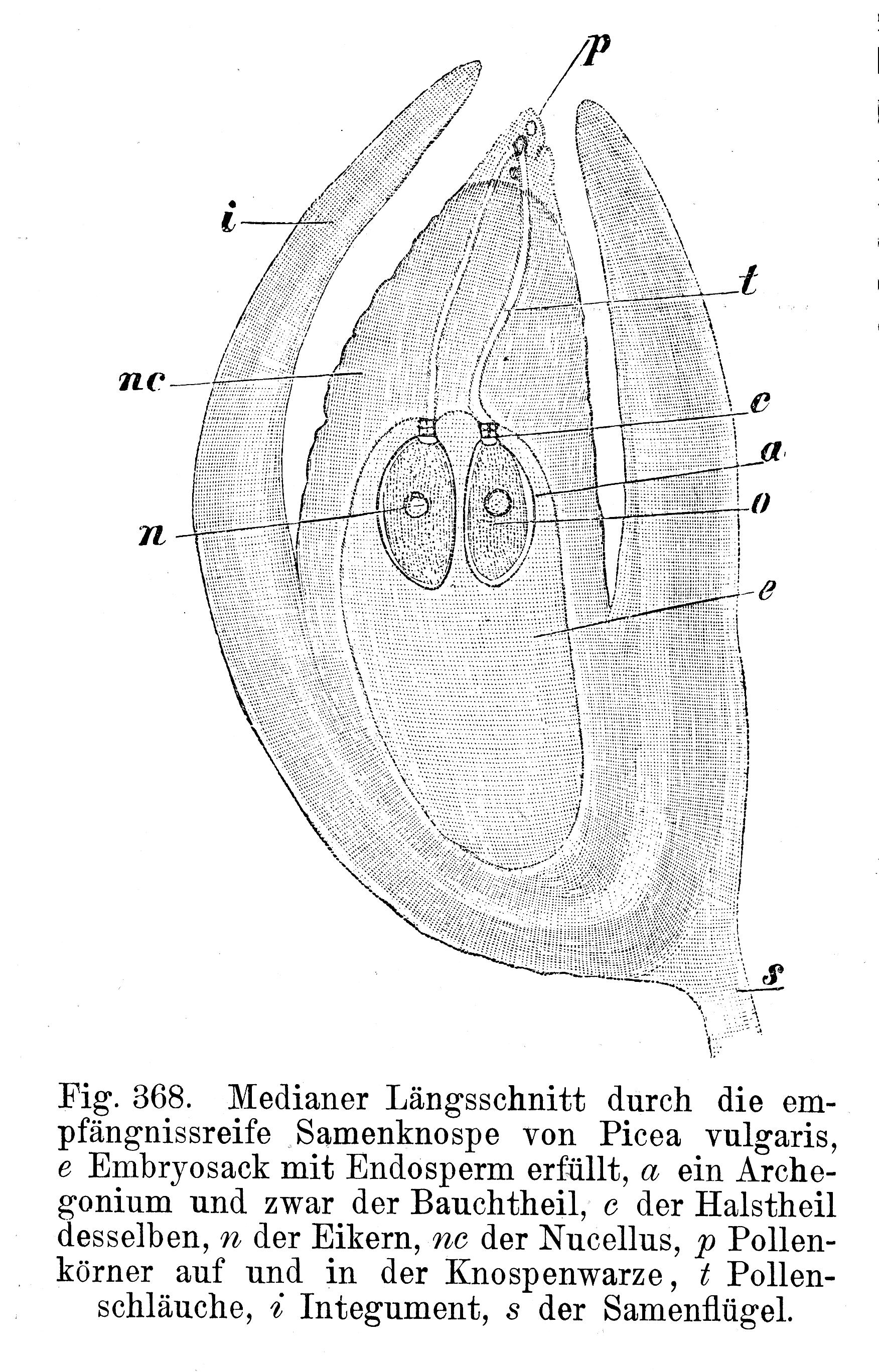 Samenanlage   Wikiwand