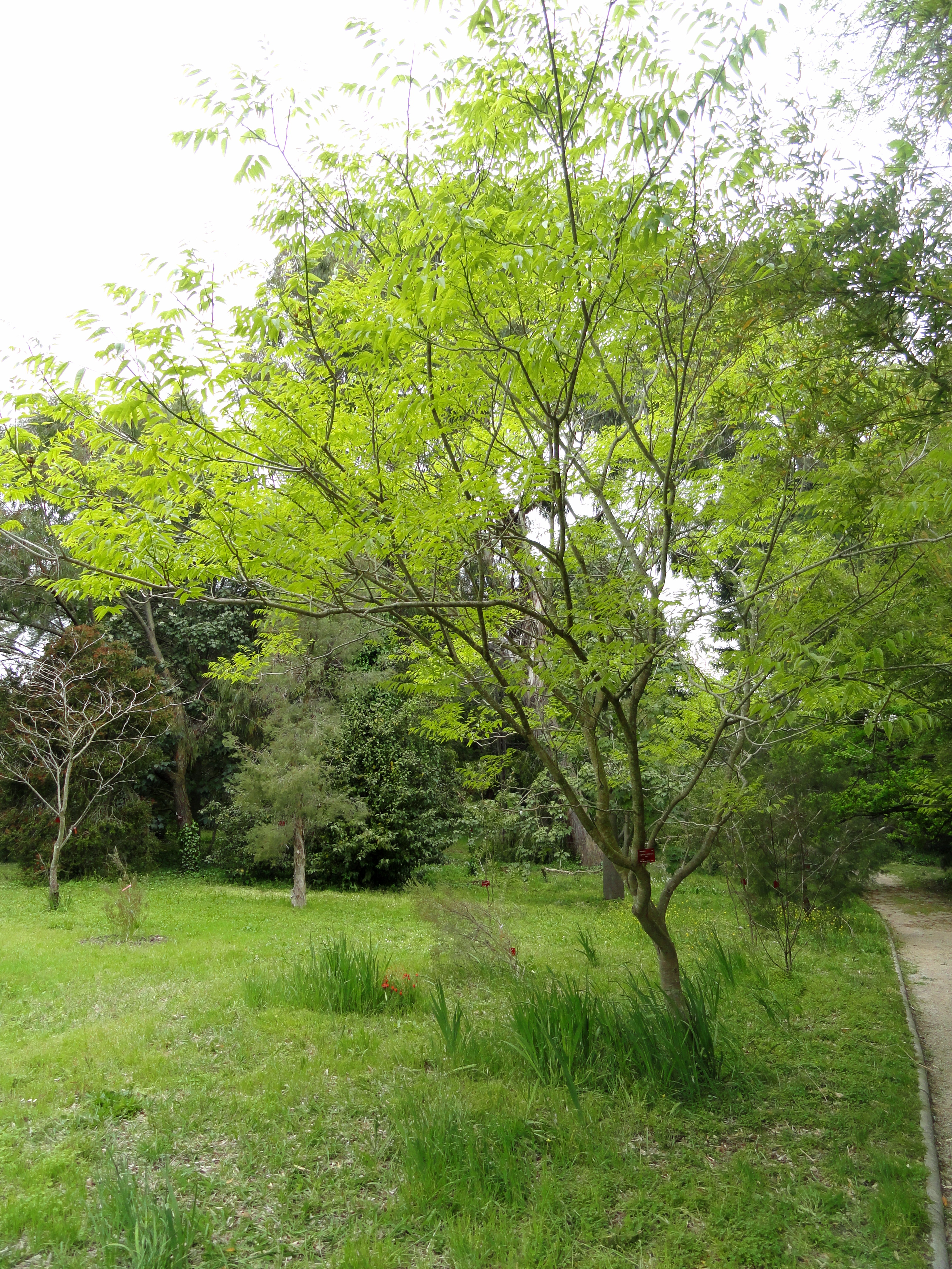 File sapindus mukorossi villa thuret dsc04777 jpg for Jardin villa thuret antibes