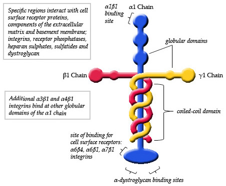 [Image: Schematic_Diagram_of_Laminin_111.jpg]