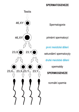 Spermatogeneze