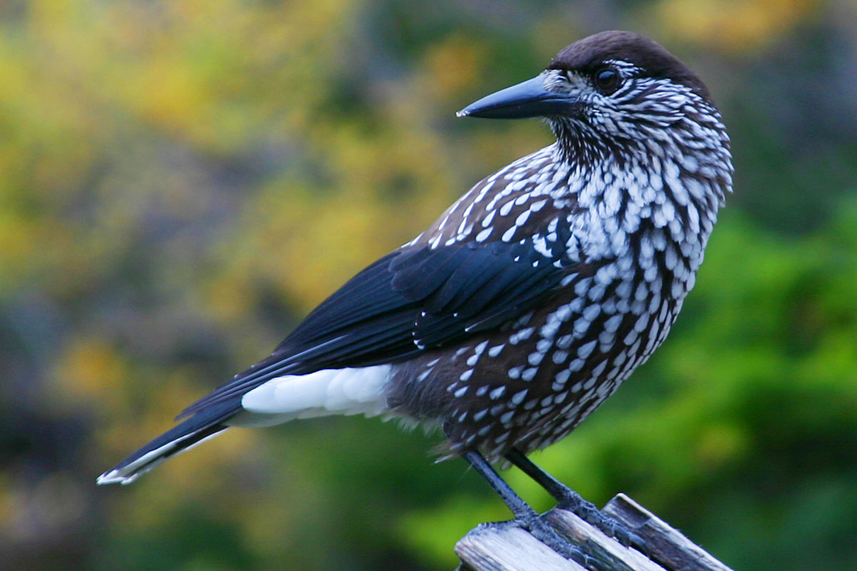 https://upload.wikimedia.org/wikipedia/commons/b/b8/Spotted_Nutcracker.jpg