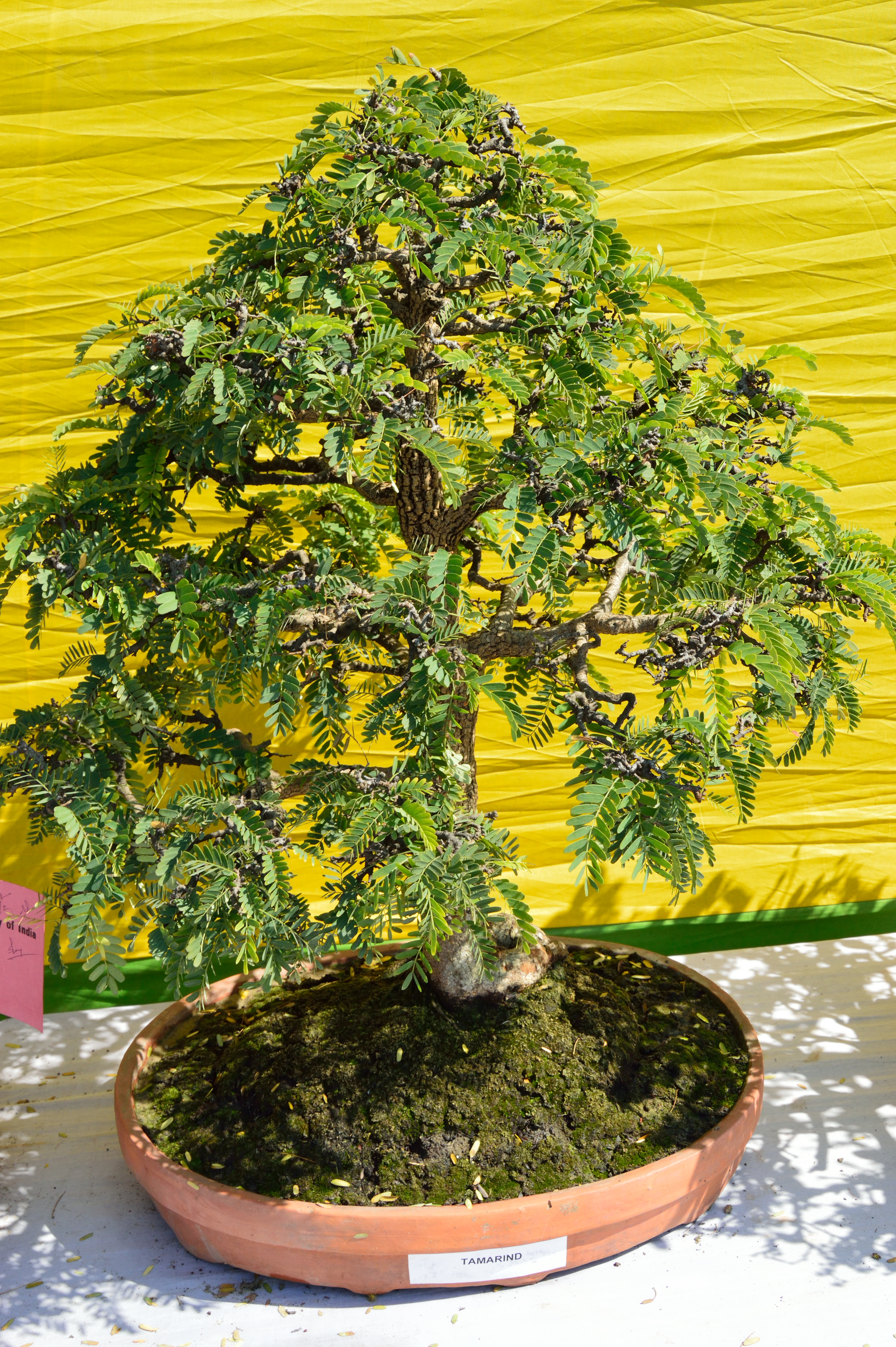 File Tamarindus Indica Bonsai Alipore Kolkata 2013 02 10 4671 Jpg Wikimedia Commons