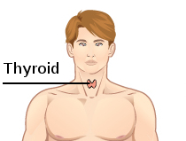 Thyroid Wikipedia