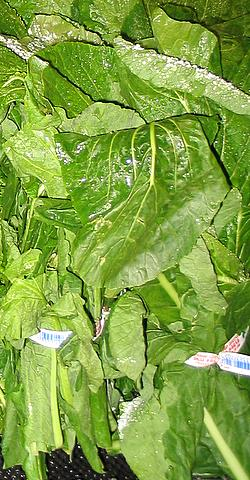 File:Turnip Greens-1.jpg