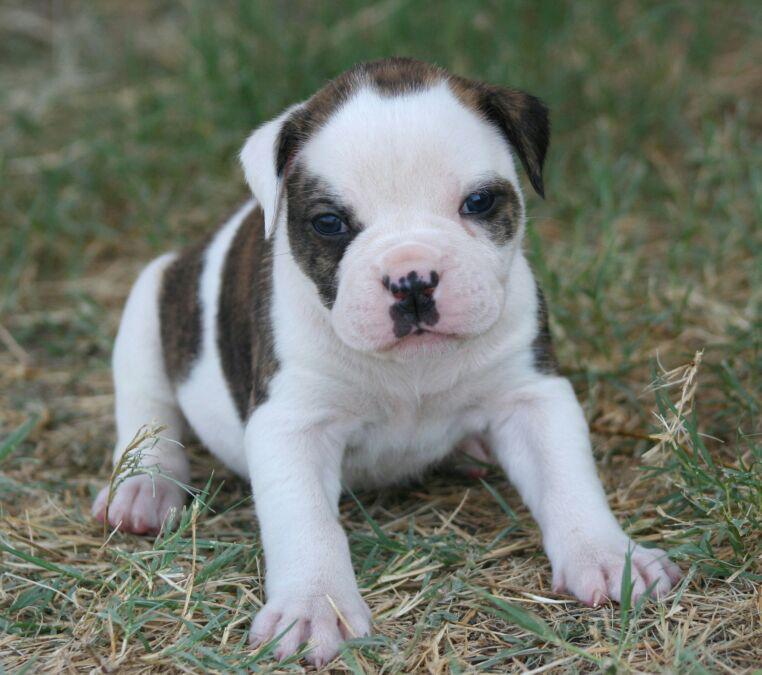 File Warrior American Bulldog Puppy Jpg