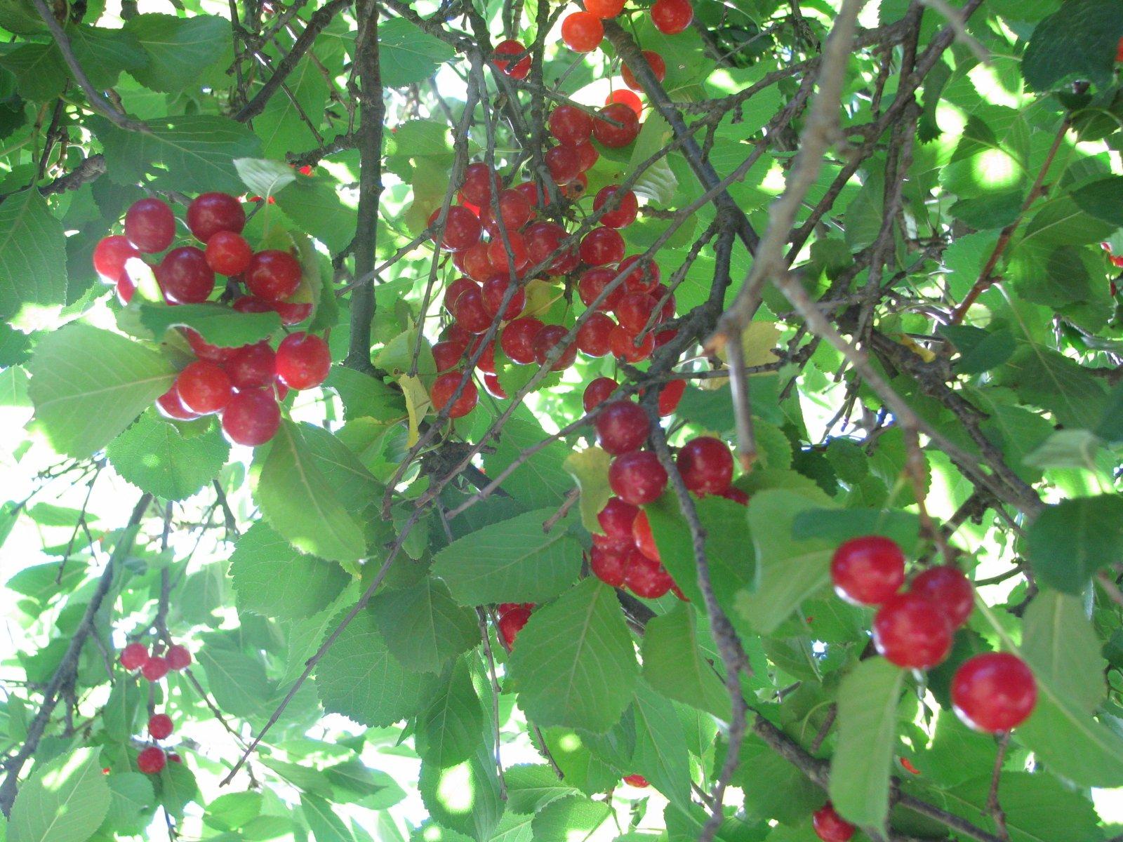 Wild cherries thumbnail