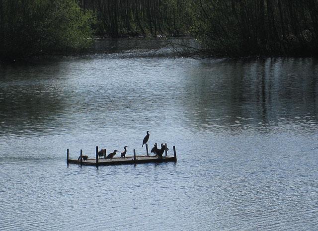 A raft of cormorants - geograph.org.uk - 1248412