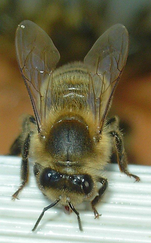 Abeille-bee-face.jpg