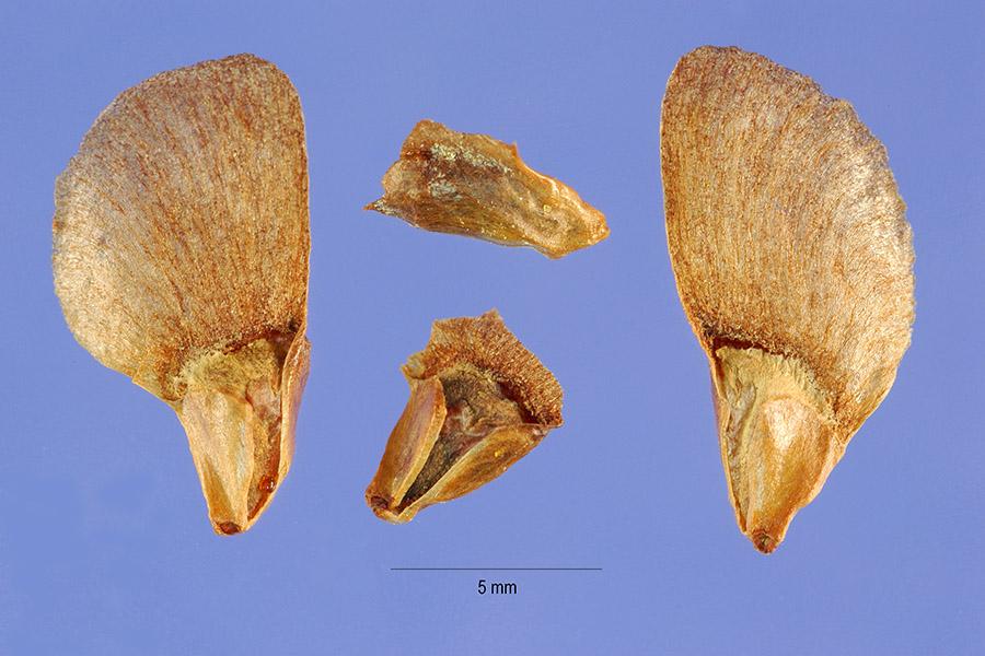 File:Abies balsamea seeds.jpg