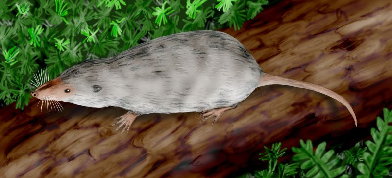 This is a drawing of Adelobasileus, the creature thought to be the ancestor of all modern mammals. It's a small, rat-like creature. The image - from an artist's imagination, not the fossil skull pieces - gives it gray fur, beady little eyes, a naked snout, tail, and paws, and little ears just poking out of the fur on its head. It's on a dead log surrounded by ferns and large club moss.