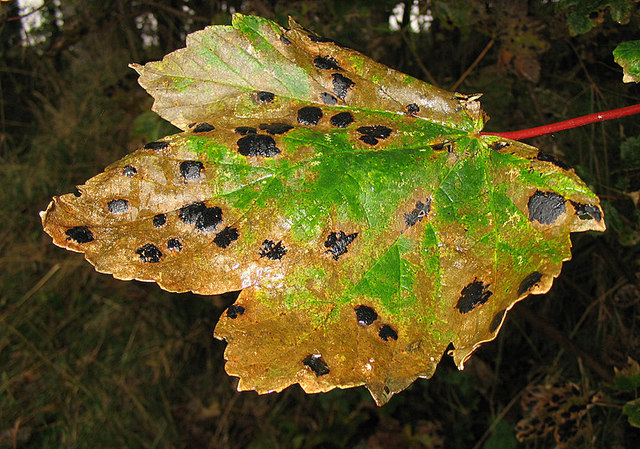 Filean Example Of The Fungus Black Spot Geograph