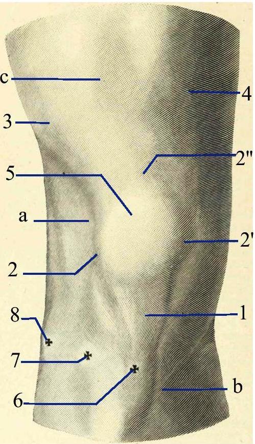 File:Anterior region of knee. Testut. ro.jpg - Wikimedia Commons