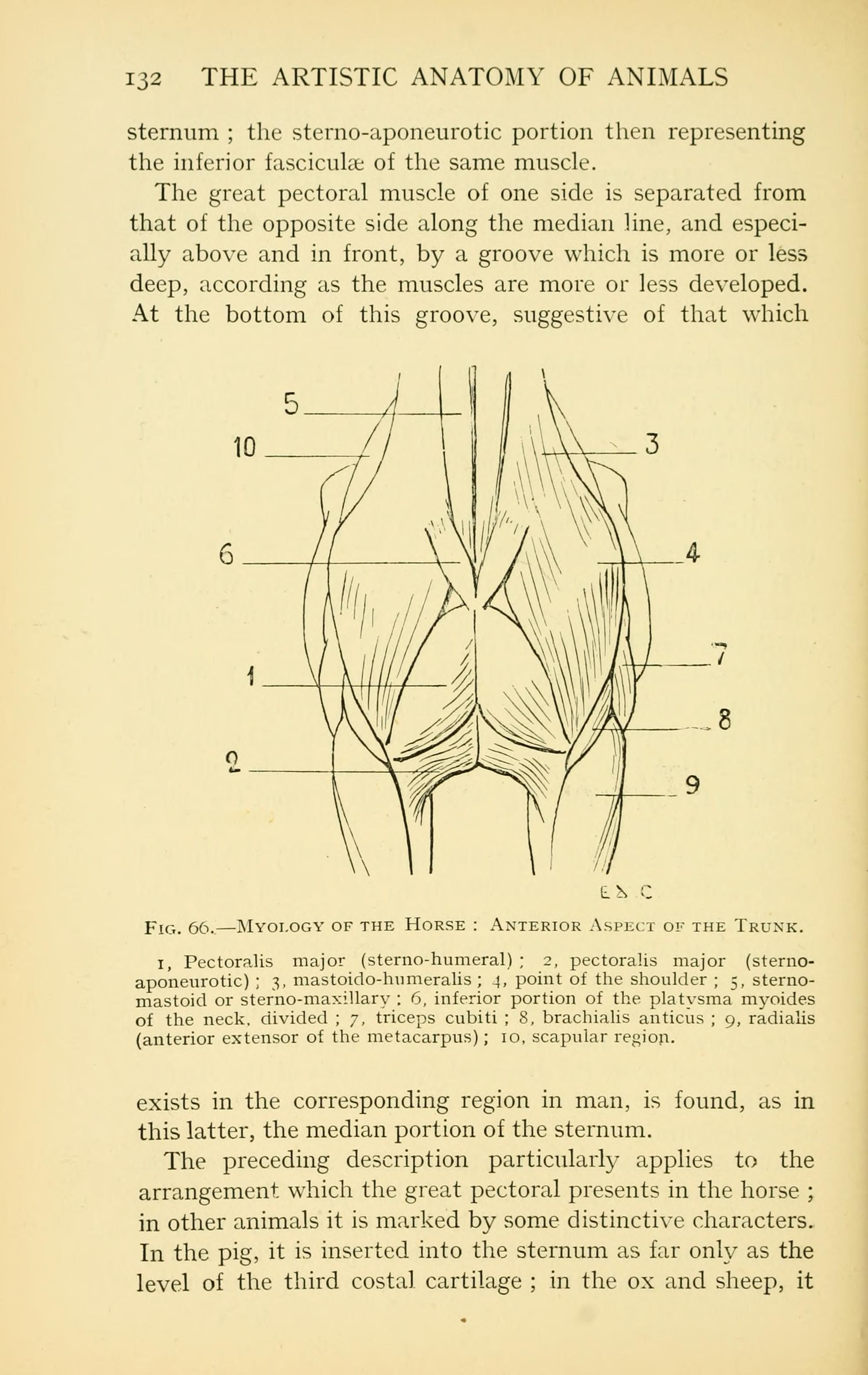 File:Artistic anatomy of animals (Page 132) BHL22847527.jpg ...