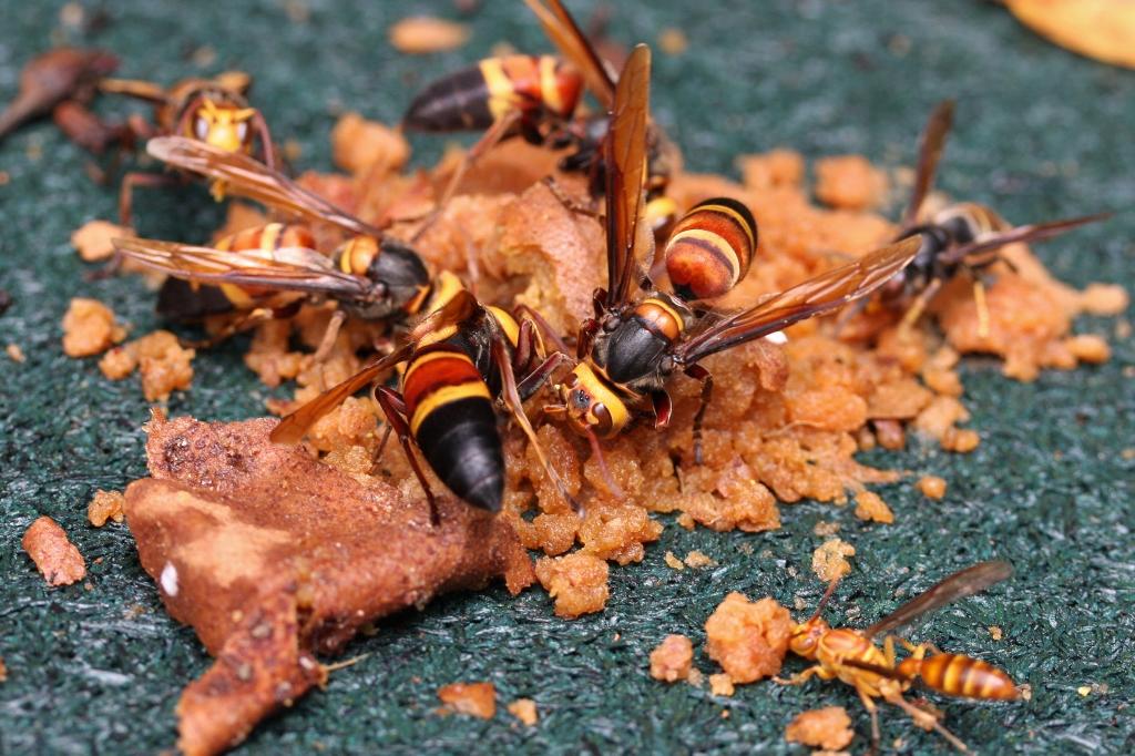 File:Asian Giant Hornet (Vespa mandarinia) (6027743338).jpg ...