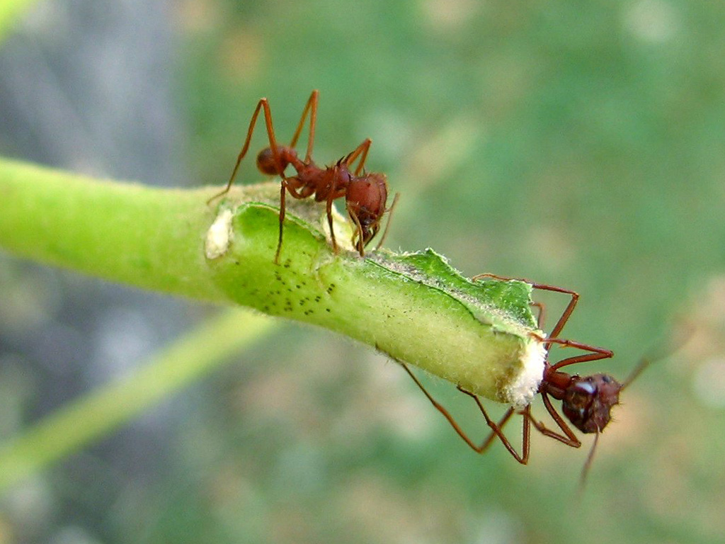 texas leafcutter ant