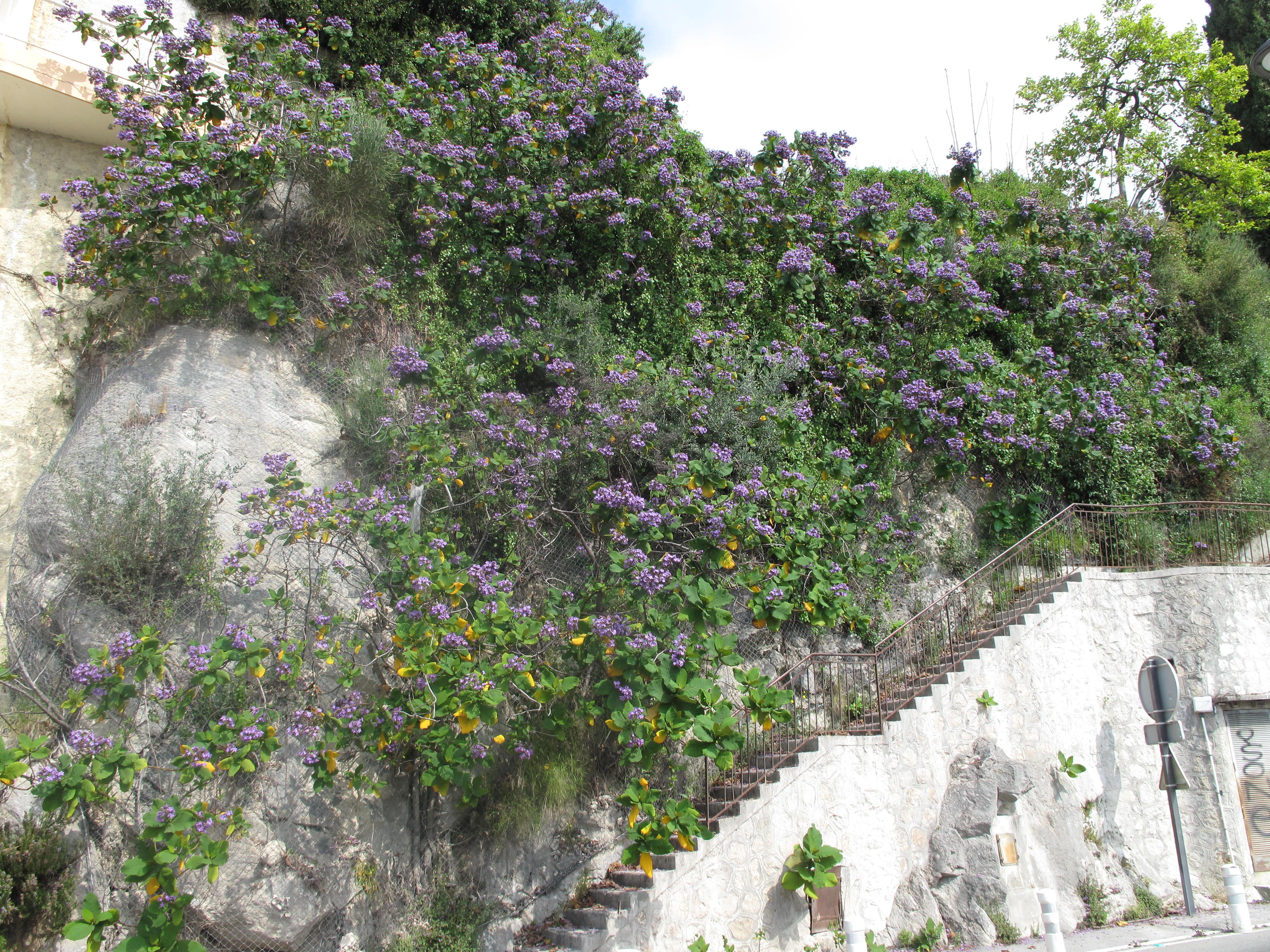 File Blue flowers along stairs Boulevard de Garavan Wikimedia mons