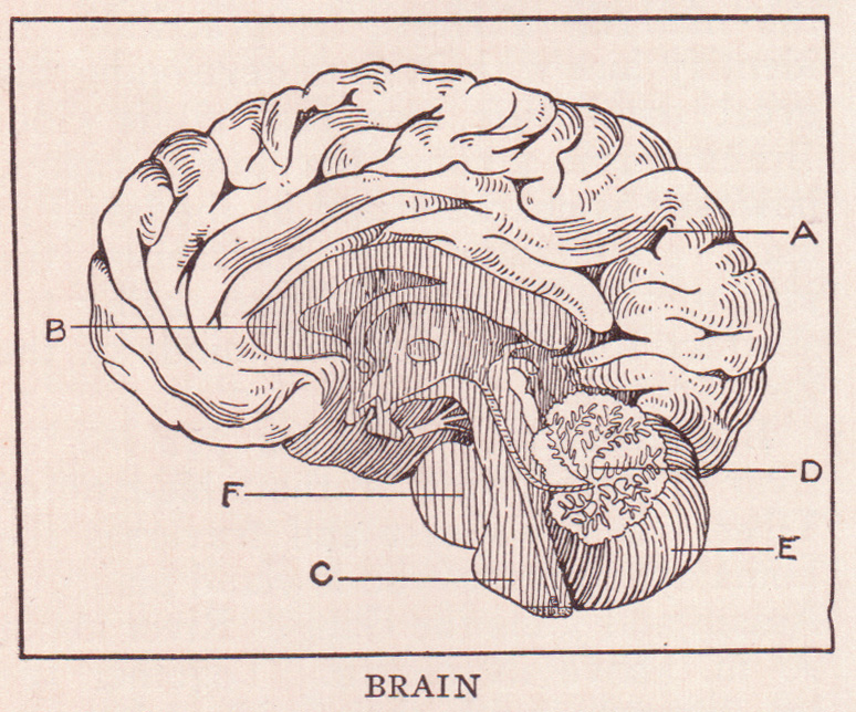 Harvard Study finds that weed can improve brain functions. Image of cross-section of brain, illustration from Victorian medical text