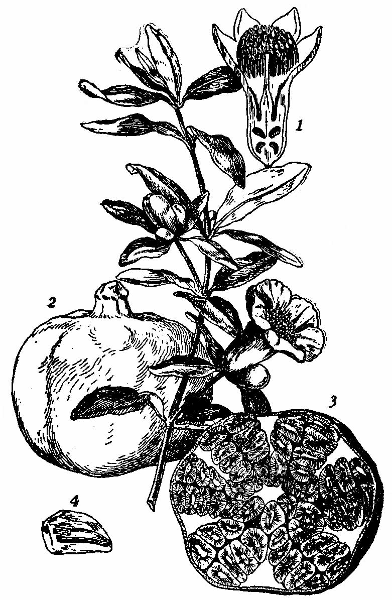 Description Britannica Pomegranate Flowering Branch and Fruit jpgPomegranate Fruit Tattoo