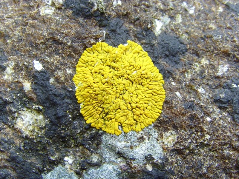 Caloplaca thallincola