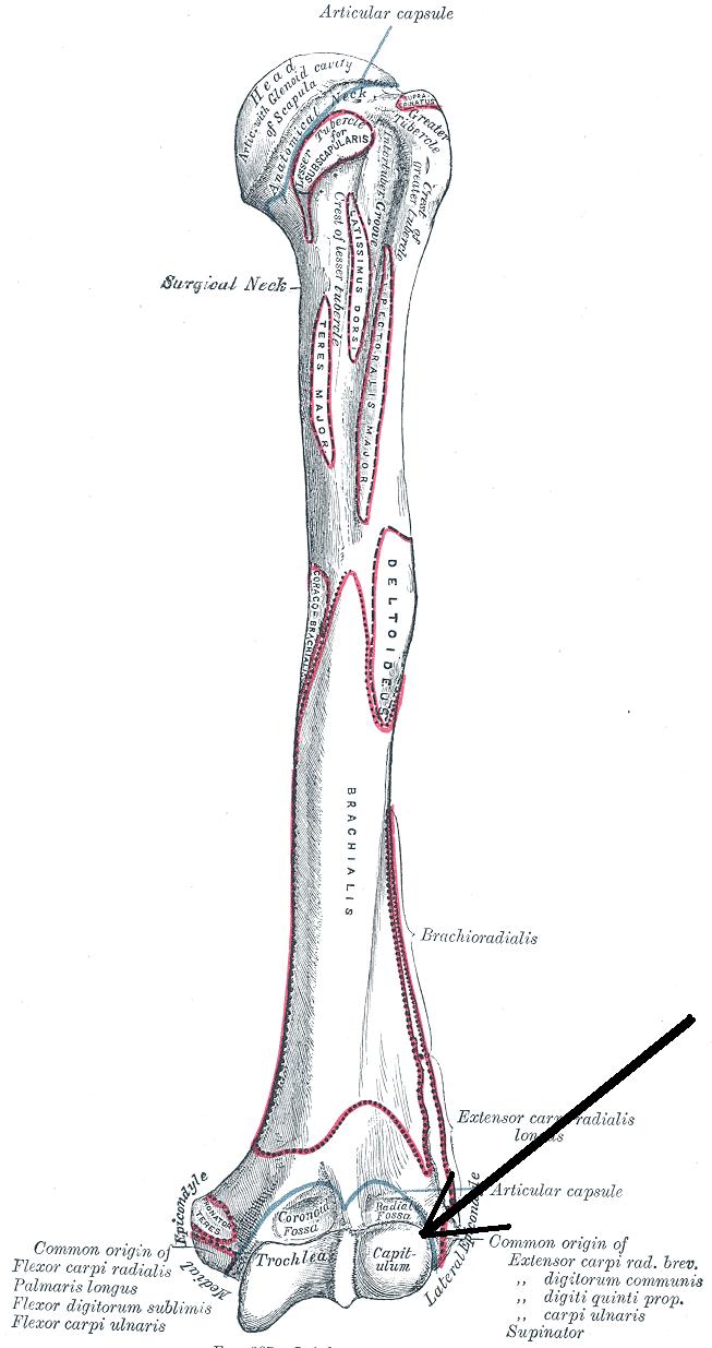 Capitulum of the humerus - Wikipedia