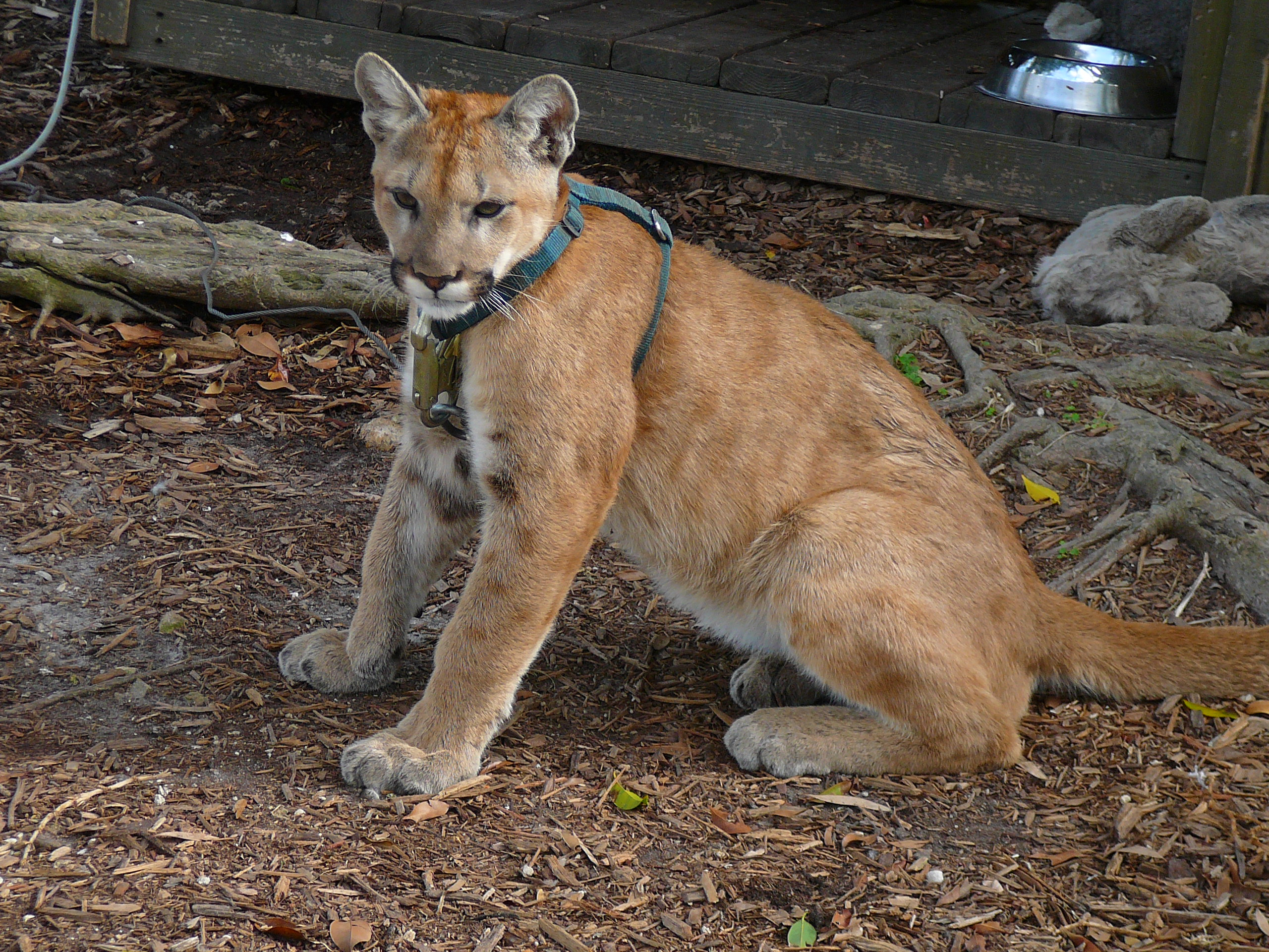 e126285bb8a Florida panther - Wikipedia