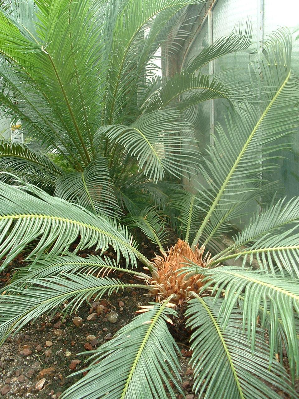 Cycadophyta - Wikispecies
