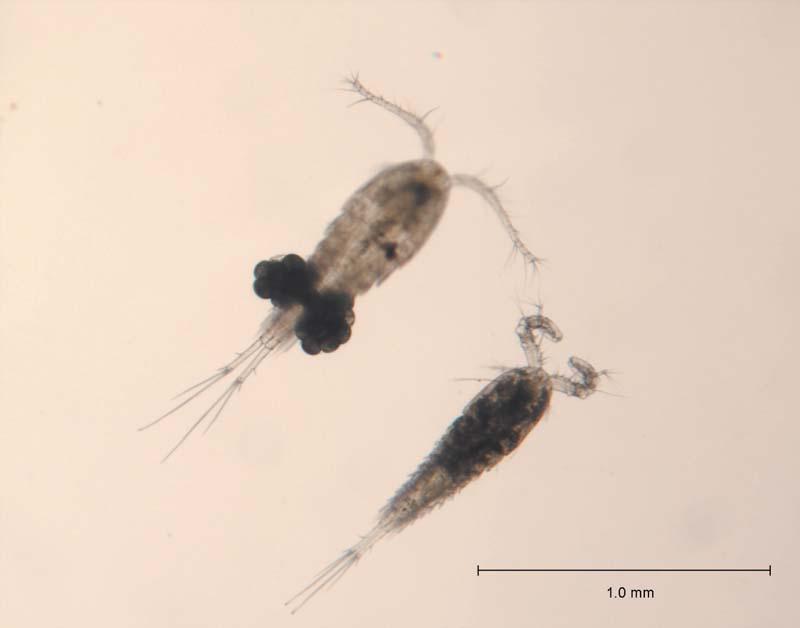 Cyklop obyčajný (lat. Cyclopss strenuus) - hore je samička s vakmi vajíčok