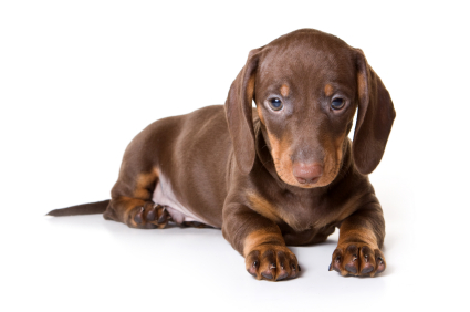 Small Breeds Dachshund
