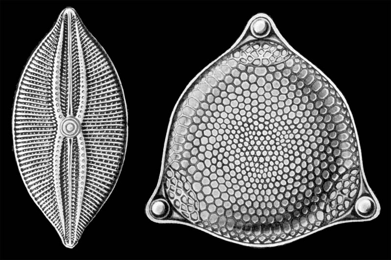 Drawing of a diatom by Haeckel