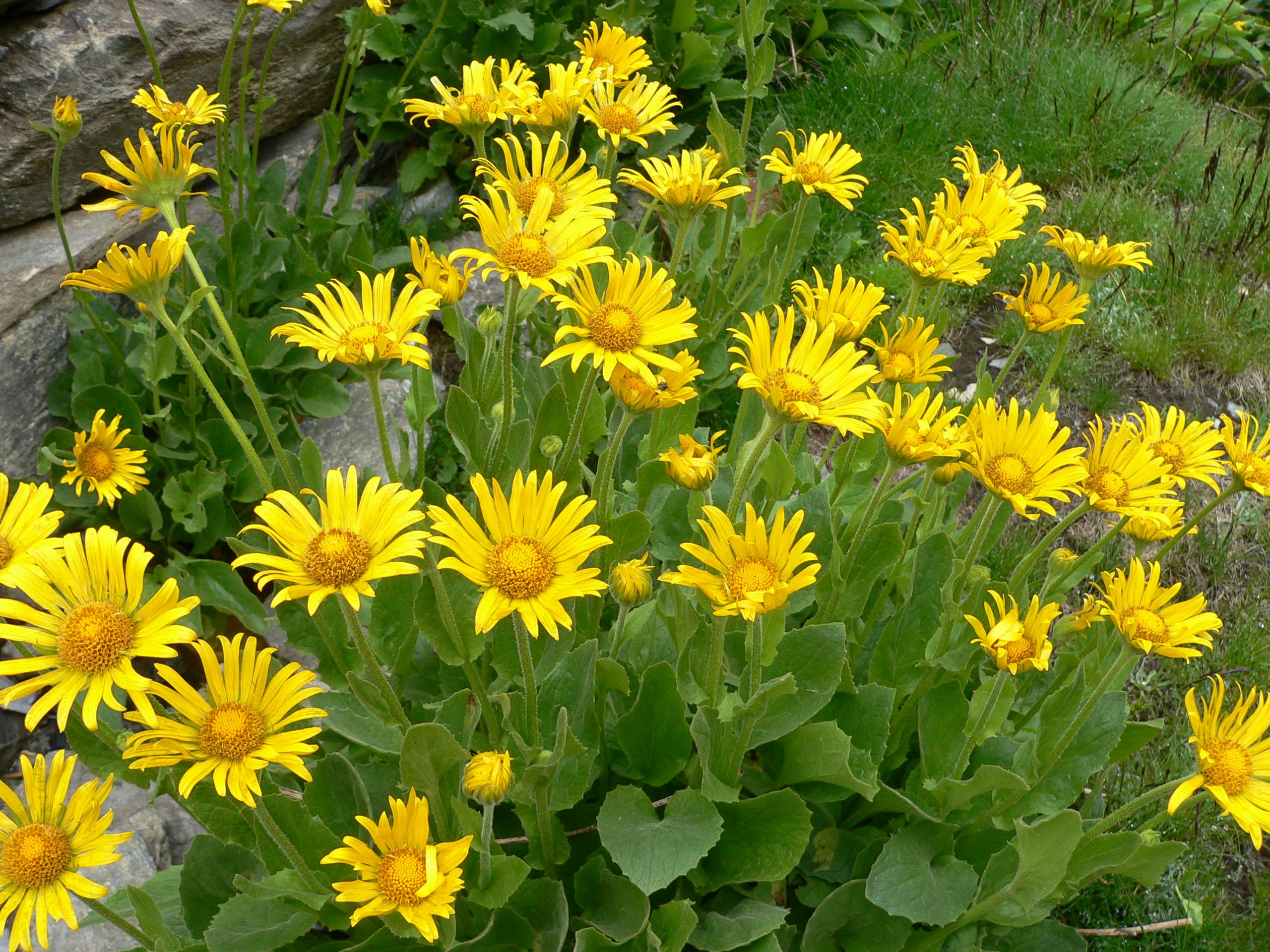 Ранний цветок с желтыми цветами фото