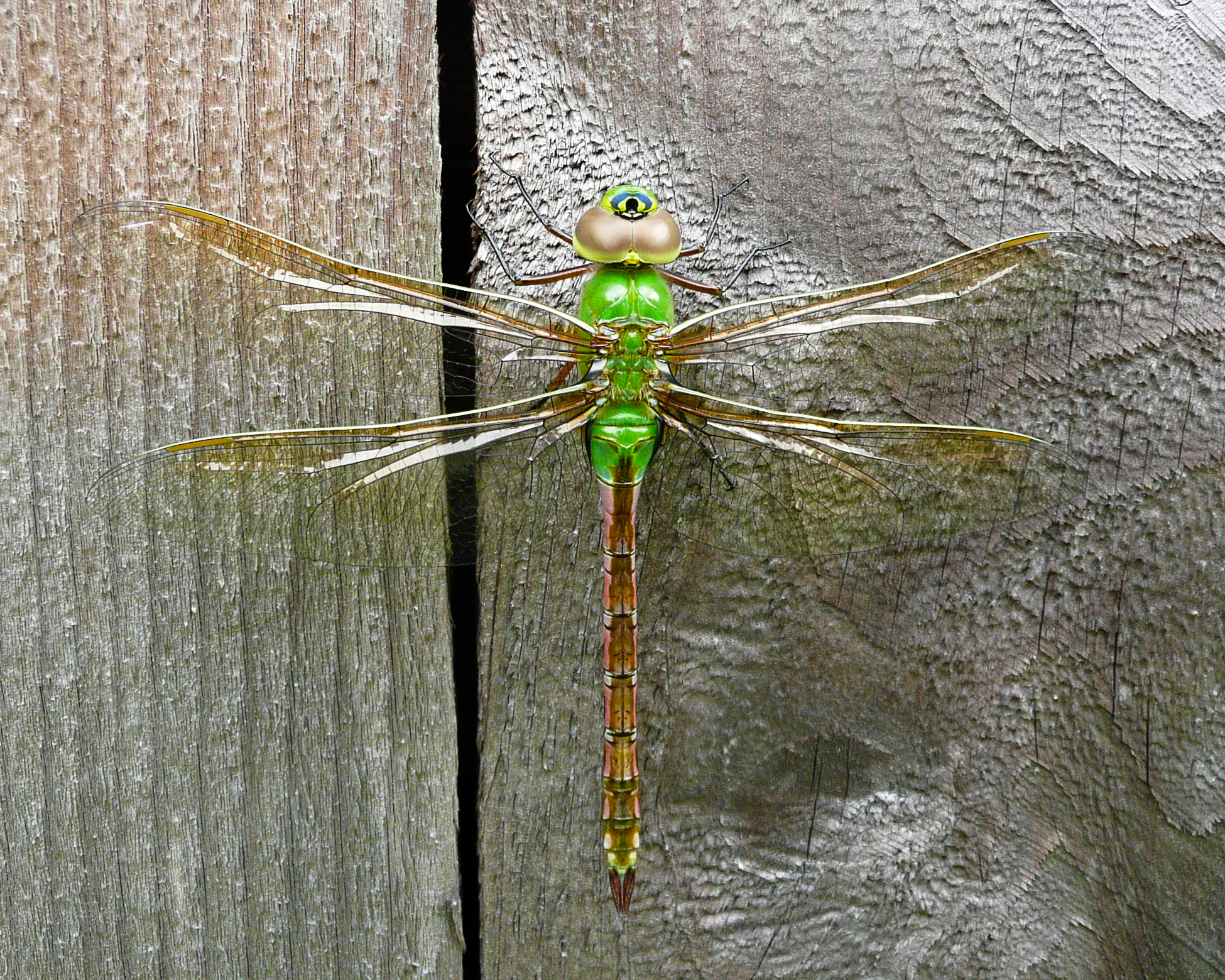 Green dragonfly pictures - photo#31