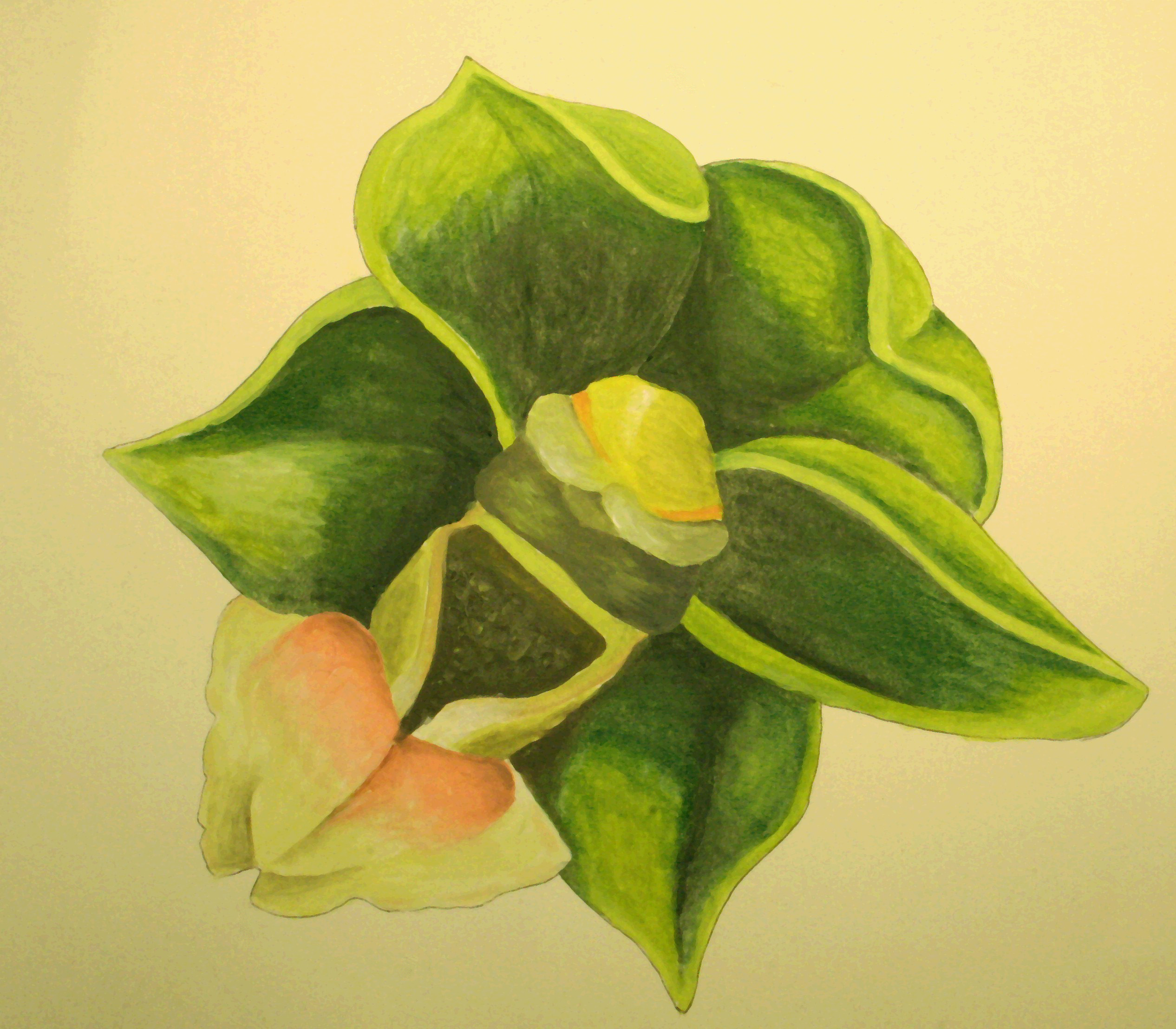 Depiction of Epipactis persica