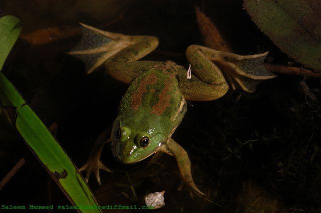 Euphlyctis hexadactylus