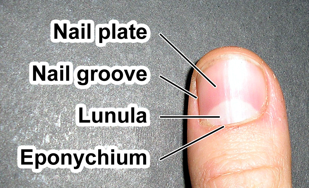 Lunula (anatomy) - Wikipedia