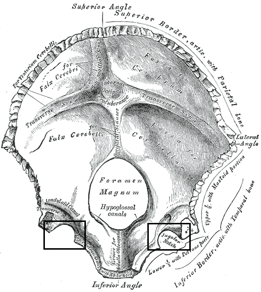 Jugular Notch Occipital Bone File:Gray130 Jug...