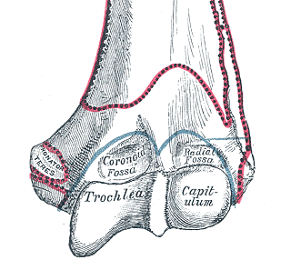 Trochlea of humerus - Wikipedia